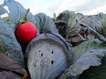 Apple på en kål på fältet i Geismar arkivfoton