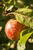 Apple på en tree Arkivbilder