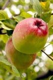 Apple på en tree Royaltyfri Bild