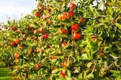 Apple på träd i fruktträdgård Arkivfoton
