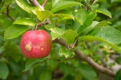 Apple på träd med filialen Arkivfoton