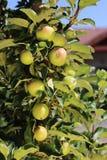 Apple på trädet Arkivfoto