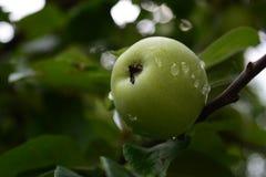 Apple på trädet Royaltyfria Foton
