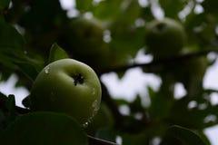 Apple på trädet Arkivbild