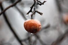 Apple på trädet i regnet Royaltyfria Bilder