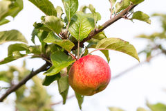 Apple på trädet i solljus Royaltyfri Foto