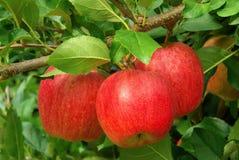 Apple på tree Fotografering för Bildbyråer