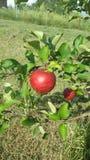 Apple på tree arkivfoton