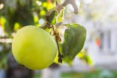 Apple på tree Royaltyfri Foto