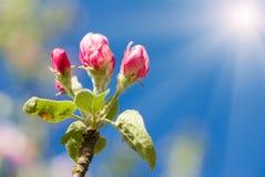 Apple pączek w wiośnie Fotografia Stock