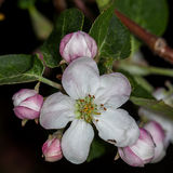 Apple pączka jabłoni Malus Fotografia Stock