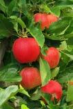 Apple på tree Royaltyfria Foton
