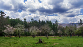 Apple and Peach Orchard Royalty Free Stock Image
