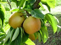 Apple pear on tree branches Royalty Free Stock Photos