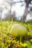 Apple perto da árvore Foto de Stock