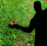 Apple Pick Shadow. Image of the shadow of a person holding a fallen apple in their hand Royalty Free Stock Photo