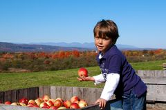 Apple Picking Royalty Free Stock Images