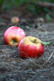 Apple picking Royalty Free Stock Photo