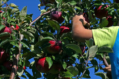 Apple Picking. Hand reaching for an apple to pick it off the tree Royalty Free Stock Images