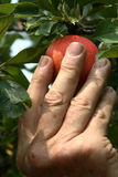 Apple picking Stock Image