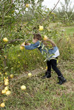 Apple Picking Stock Photos