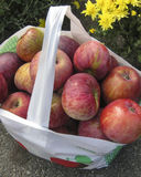 Apple picking in Massachusetts. Freshly picked apples are flavorful and healthy.  It's fun to go apple picking in New England Stock Photography