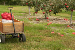 Apple Picking Season. A wooden wagon filled with freshly picked apples Royalty Free Stock Images