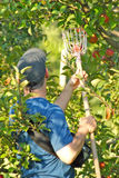 Apple Picking Time. A man uses an apple picking tool to pick apples from a tree on a sunny day in Fall in New England Stock Image