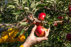 Apple picking. From tree in orchard stock image