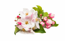 Apple pink flower Royalty Free Stock Photos