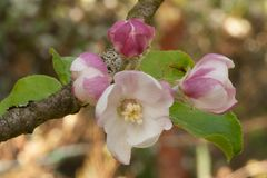 Apple flowers with buds in shadow royalty free stock photography