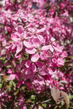 Apple pink flowers in spring Royalty Free Stock Photos