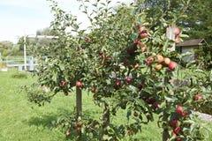 Apple planta Imagens de Stock Royalty Free