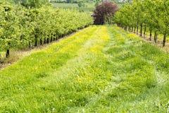 Apple Plantage Στοκ Φωτογραφία