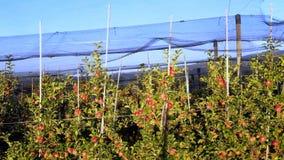 Apple-Plantage, Obstgarten mit Antihagelnetz für Schutz stockfotografie