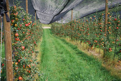 Apple plantation. This is a picture of an apple plantation, taken in Austria. The plantation is full of red ripe apples Stock Photo