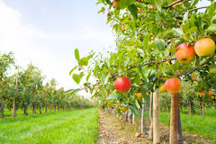 Apple plantation. In the Altes Land in Germany. Focus on the red apple in the foreground royalty free stock photo