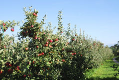 Apple Plantation Royalty Free Stock Photography