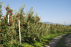 Apple Plantation Royalty Free Stock Images
