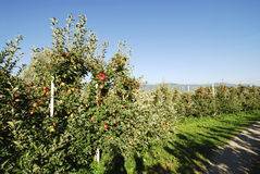 Apple Plantation. With ripe fruits Stock Photography