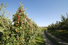 Apple Plantation. With ripe fruits Stock Photo