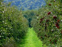Apple Plantation. Lines of apple trees full of ripe red apples Royalty Free Stock Images