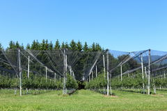 Apple plantation. In the Austrian Alps Stock Photography