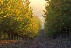 Apple plantation. Autumn apple plantation and trees with sunlight Royalty Free Stock Images