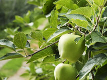 Apple Plantation. Close-up of two apples on tree in an apple plantation in South Tyrol Stock Photo