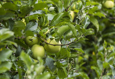Apple in plantation. Fresh fruit Stock Photography
