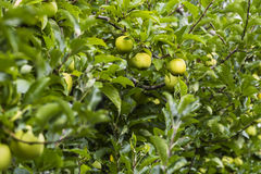 Apple in plantation. Gree apple in plantation - agriculture in Italy Royalty Free Stock Photo