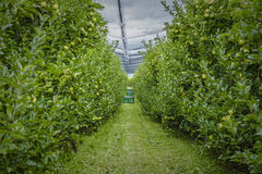 Apple plantation. Green apple - apple plantation - agricultural - industry Royalty Free Stock Image