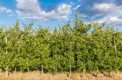 Apple plantation Royalty Free Stock Photos