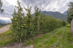 Apple Plantation. At the apple plantation. Merano, Italy Stock Photos